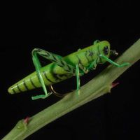"""Saltamontes """"Hopper green"""" TE20"""